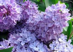 Highland Park's Lilac Festival